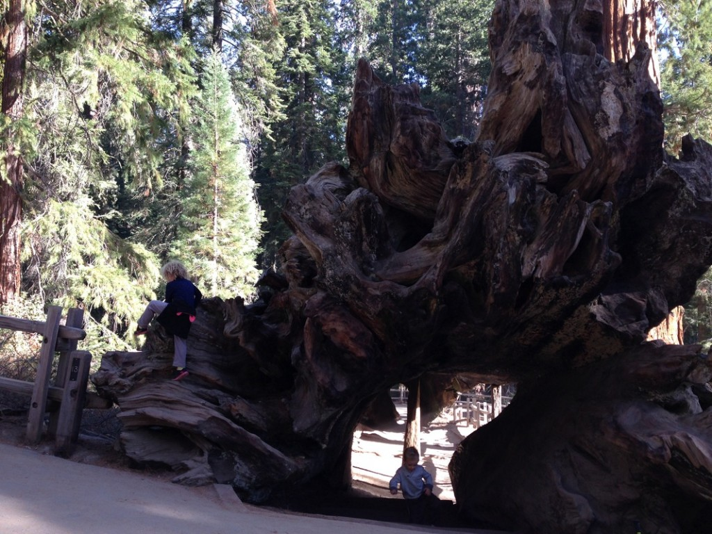 Playing in the base of a fallen down Sequoia